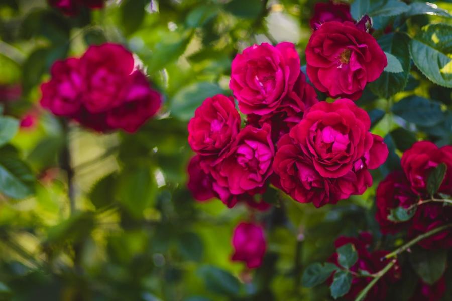 roze zasadzone w ogrodzie przy domu